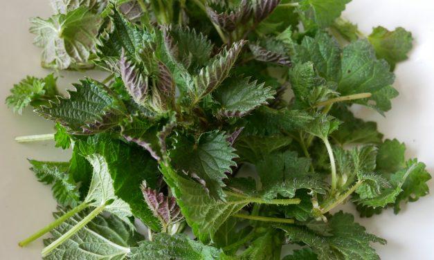 Kopřiva – neobyčejná jarní bylinka do každé kuchyně